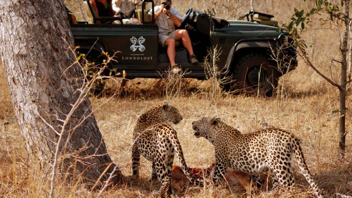 Leopards-being-Photographed_0.jpg