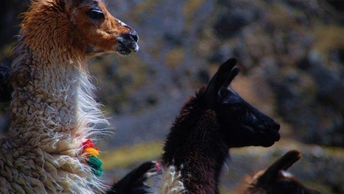 Llamas-del-Altiplano.jpg