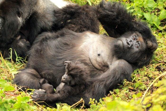 gorilla%203.jpg