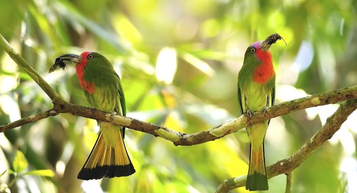 iStock_red-bearded%20bee-eater.jpg