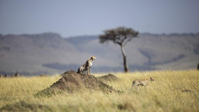 Safari in the Maasai Mara, KENYA.