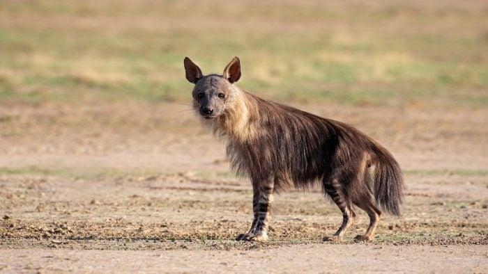 Brown-Hyena---Kalahari-iStock_000015916614_Large-(web).jpg