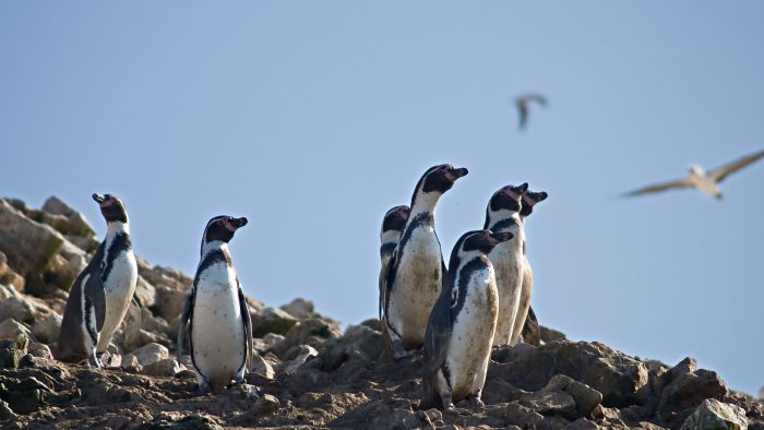 See the wildlife of the Ballestas Islands, just a boat ride from Paracas.