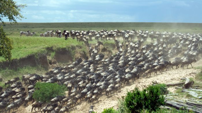wildebeest_migration_river_crossing_iStock_000007641286Large.jpg