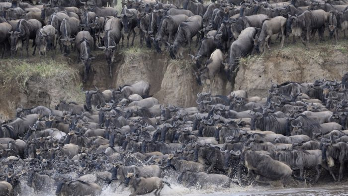 wildebeest_migration_river_crossing_iStock_000020616379XXXLarge.jpg