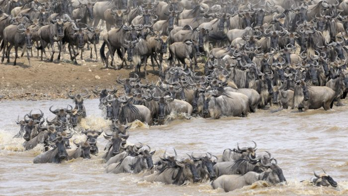 wildebeest_migration_river_crossing_iStock_000021790722XLarge.jpg