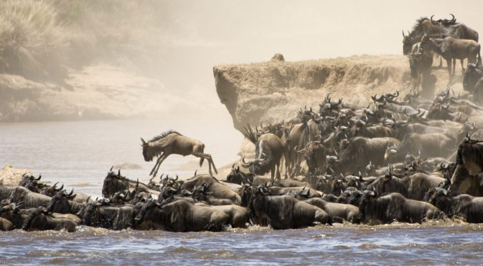 wildebeest_migration_river_crossings_dreamstime_xxl_16149502.jpg