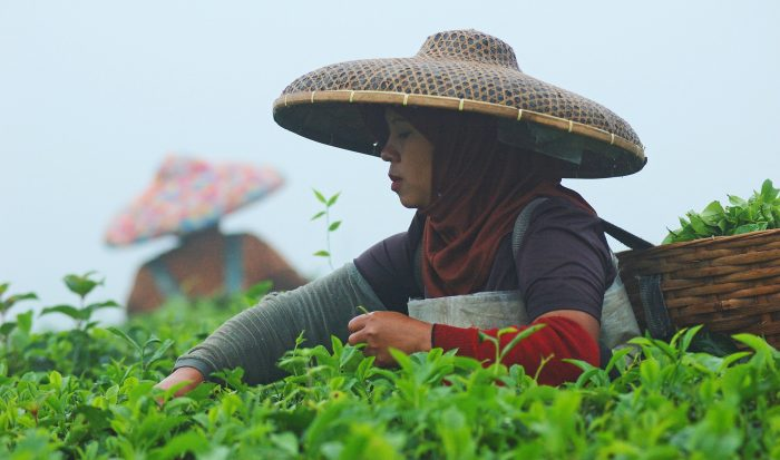 Indonesia_tea_picker_by_CIFOR