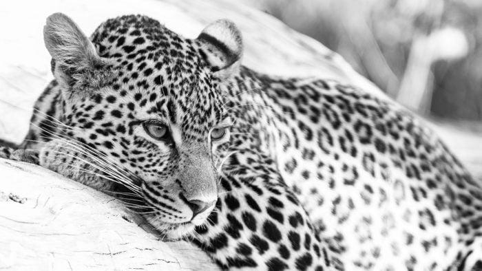 Leopard-25.jpg