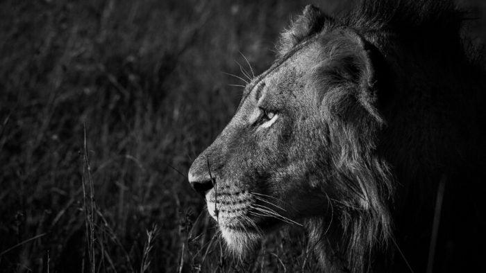 Lion-38.jpg