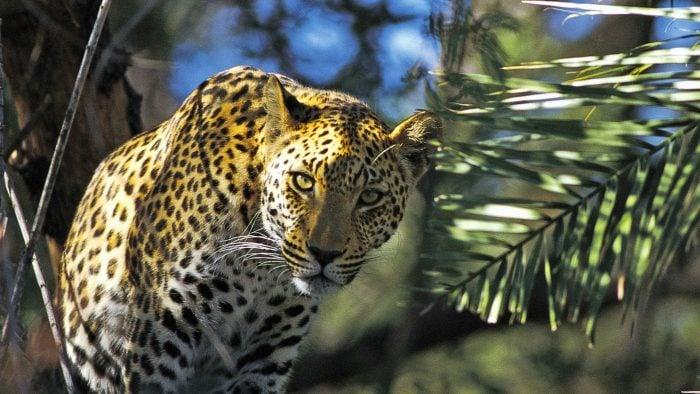 leopard_78486860.jpg