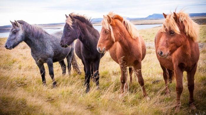 Iceland, horses