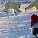 joyce polar bears