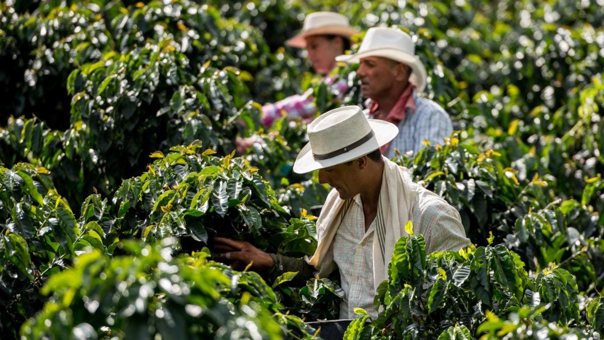 Slikovni rezultat za coffee plantation colombia