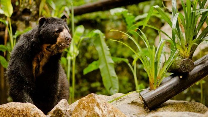A spectacled bear in Inkaterra's rescue centre at Machu Picchu, Peru