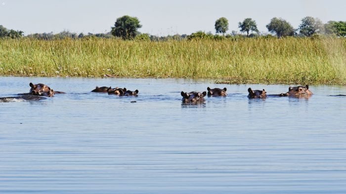 Hippos in the Okavango Delta, Botswana