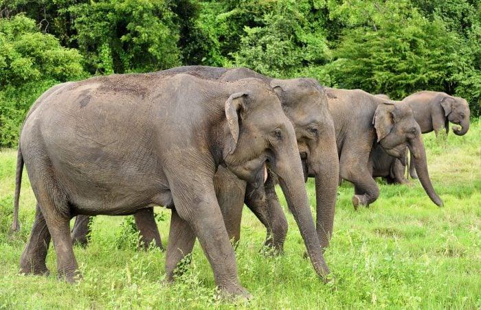 elephant-gathering-minneriya-national-park-sri-lanka