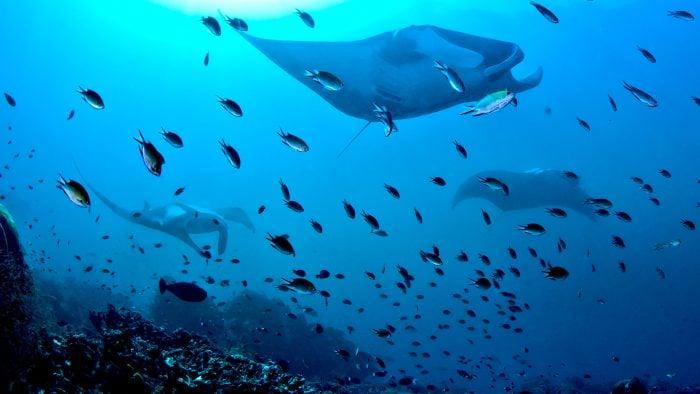 manta-rays, raja ampat, indonesia
