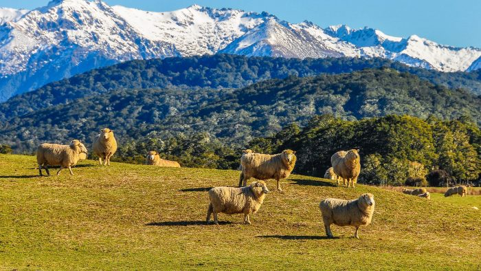 Sheep in a green meadow in New Zealand