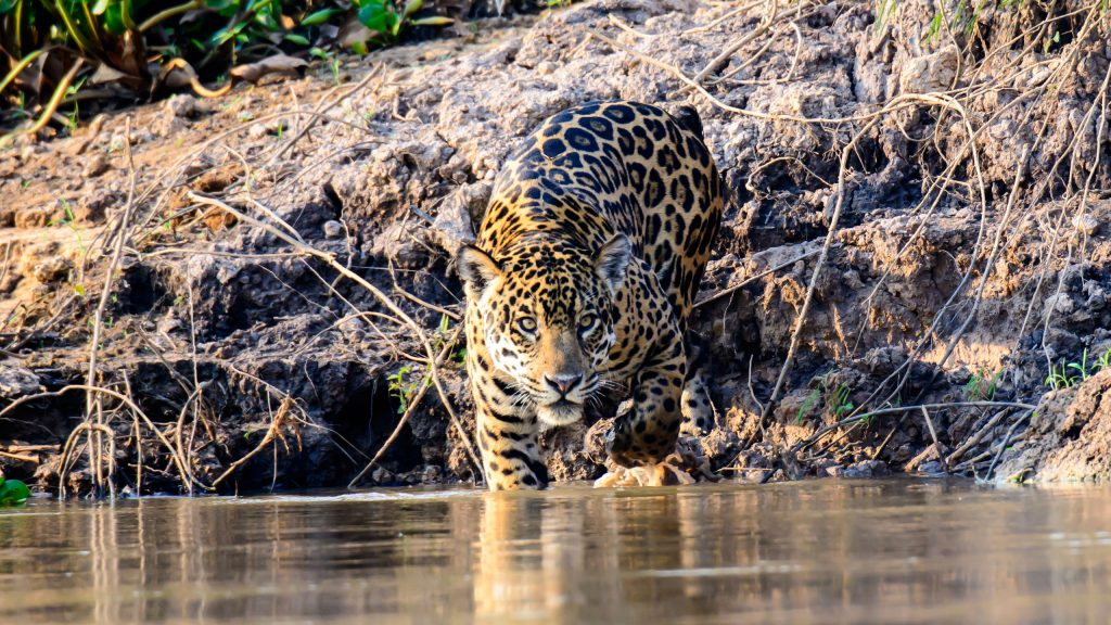 jaguar-in-the-patanal-istock-505645658