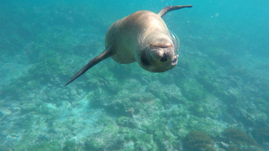 Galapagos sea lion, Lily Bunker.