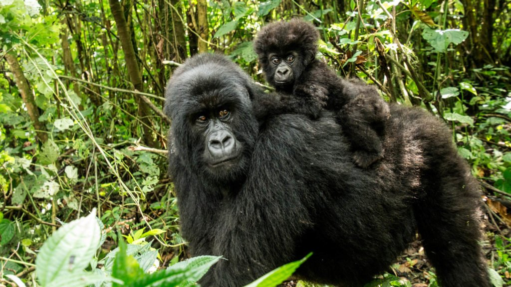 Mother Mountain gorilla with baby