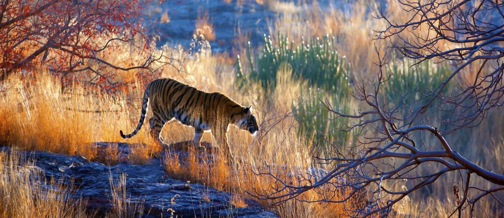 Tiger Ranthambore India