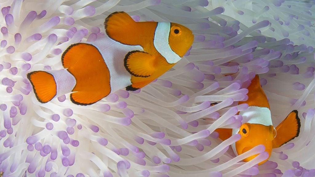 raja-ampat-clown-fish