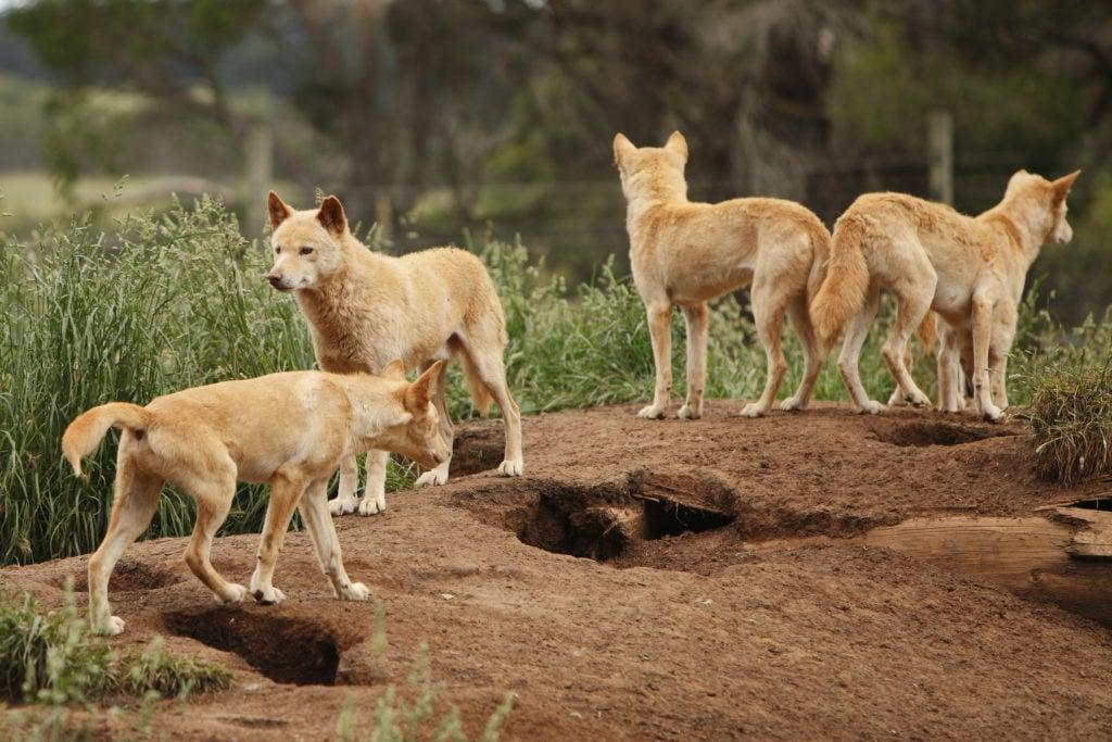 Dingo herd in Australia