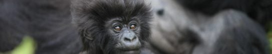 baby-gorilla-volcanoes-national-park-rwanda