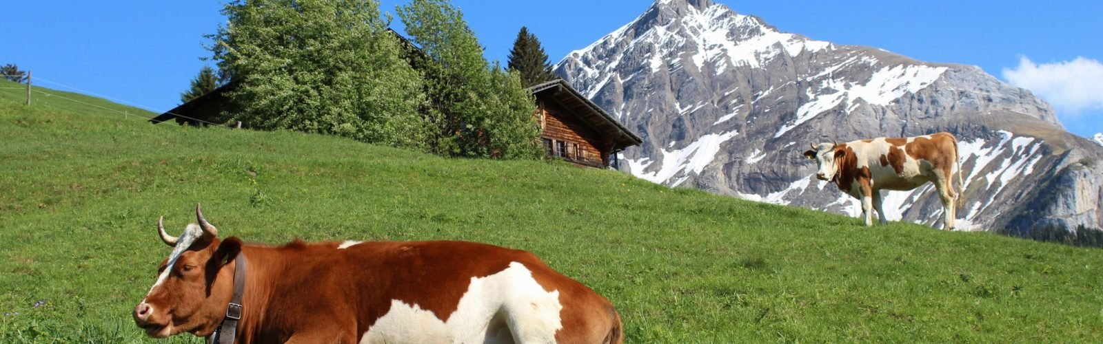 gstaad-cows