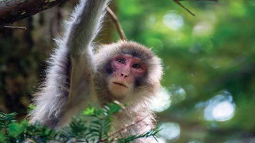Monkey, Sandakan, Borneo