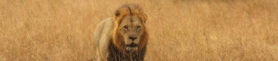 Lion, Sabi Sands, South Africa