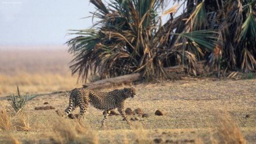 Chada Katavi Cheetah, Katavi National Park, Tanzania