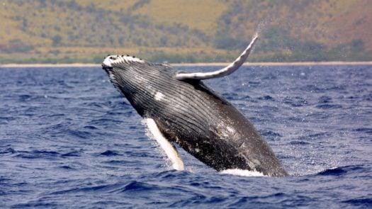humpback-whale-costa-rica