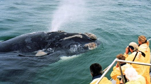 Whale watching, South Africa