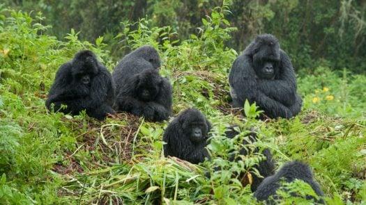 gorilla-family-bwindi-forest-uganda