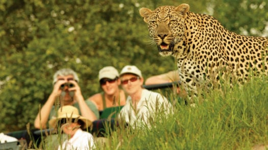 Guests watching leopard, Londolozi, Sabi Sands, South Africa