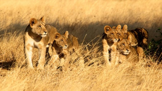 samburu-lions-kenya