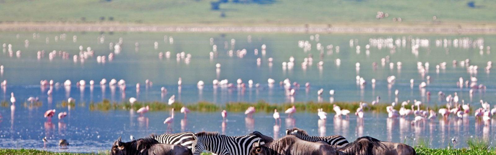 Buffalo and flamingo, Ngorogoro, Tanzania