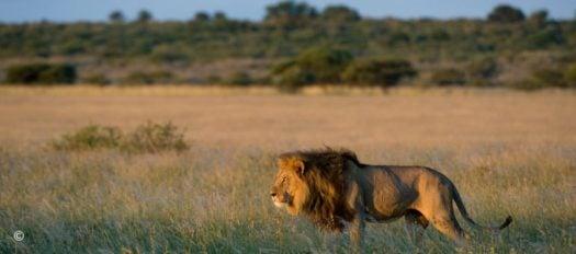 Lion on safari, Central Kalahari Game Reserve, Botswana