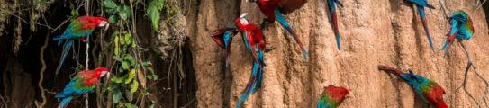 macaws-amazon-peru