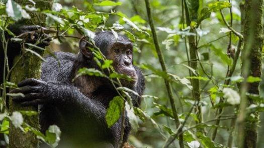 chimpanzee-bwindi-impenetrable-forest-uganda