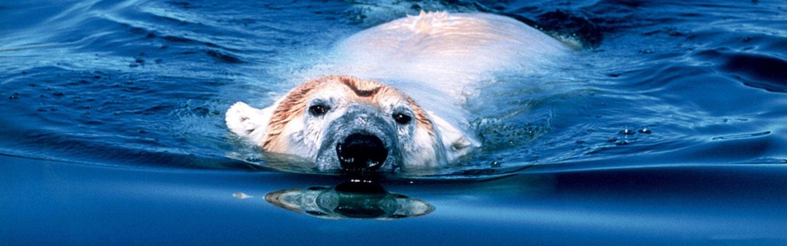 polar-bear-swimming