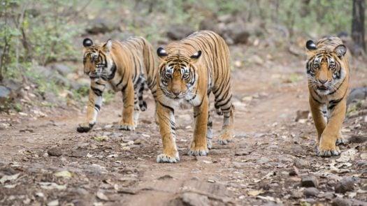 tigers-ranthambore-national-park-india