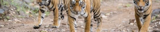 tigers-ranthambore-national-park-india