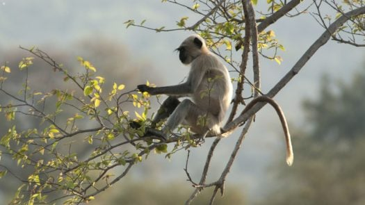 langur-monkey-panna-national-park-india