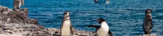 penguins-galapagos-islands