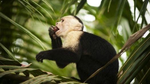 Monkey, Manuel Antonio, Costa Rica