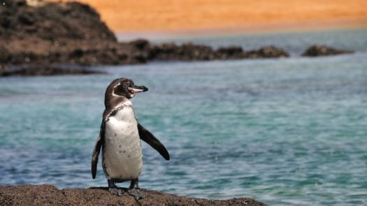 penguin-galapgos-islands